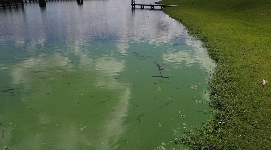 algae bloom at Franklin lock