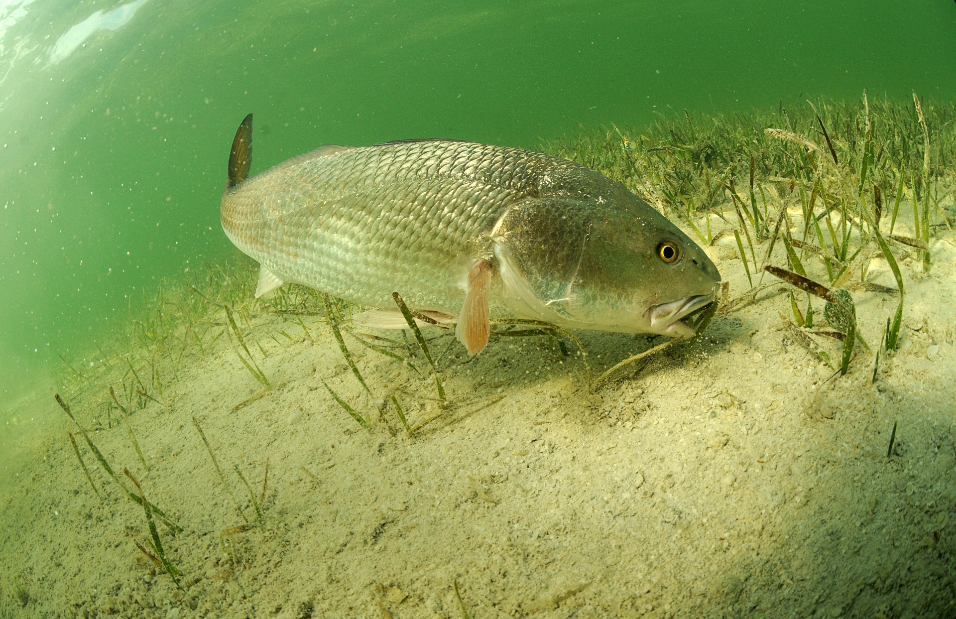 redfish in ocean