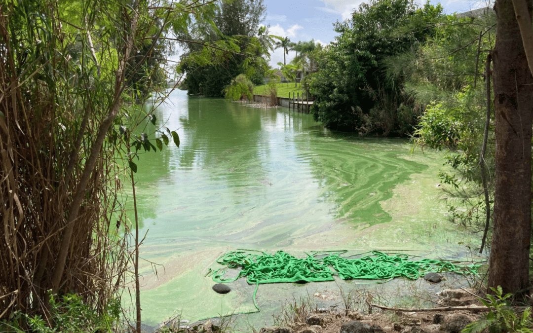 Blue-Green Algae - Cape Coral canals