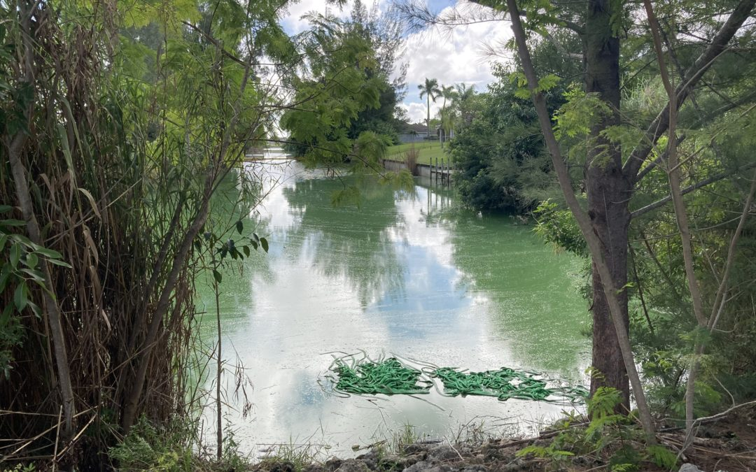 Mikai Canal algal bloom Cape Coral