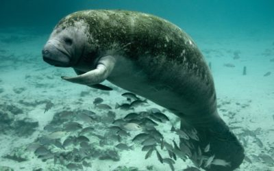Study Finds Glyphosate in More Than Half of All Sampled Florida Manatees