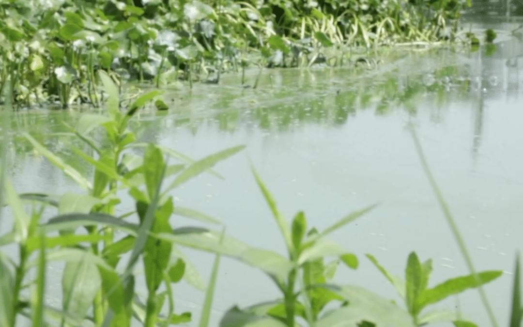 CDC Begins New Study on Blue-Green Algae