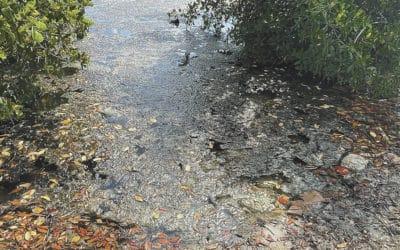 Toxic Algae Poisoning Diagnosed in Matlacha