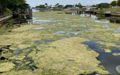 Algae found floating in Cape Coral canals